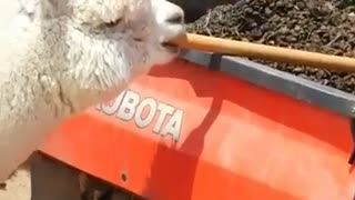 Most popular alpaca on the ranch  - Video