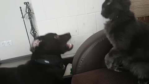 Cat fights with a dog