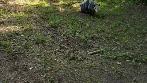 Opossum Mom Carries Babies on Her Back