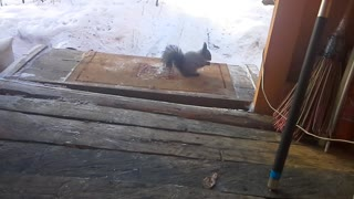 squirrel eats cheese on lake Baikal