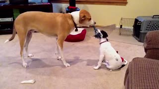 Puppy bravely plays tug-of-war with big older brother - Video