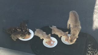 Baby Kittens First Time Eating Food Momma Cat Watches