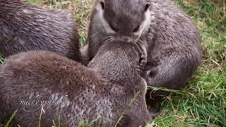 Playful otters discover a new toy