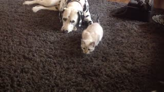 Fearless kitten pounces on pair of Dalmatians - Video