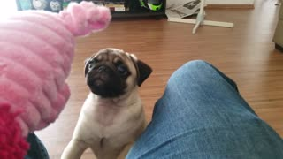 Clumsy Pug can't quite keep his footing - Video