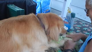 Golden Retriever Absolutely Loves Corn - Video