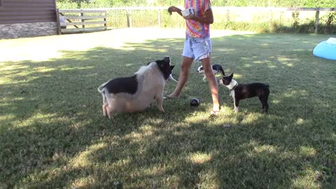 Pig does tricks with ball while dogs watch