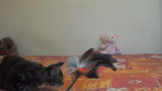 Cezar The Maine-Coon Kitty - Video
