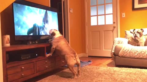Bulldog watches 'Jurassic World: Fallen Kingdom' trailer, nearly goes through TV!