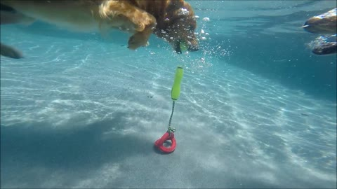 Oh No! Watch out! 2 Golden Retrievers Campbell & Rusty dive underwater for same kong dog toy