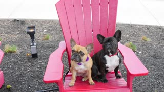 French Bulldogs visit historic holiday destination - Video