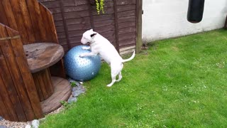 English bull terrier humping his yoga ball  - Video