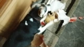 Dog loves opening Christmas presents