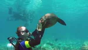 Sea Lion playfully attacks diver - Video
