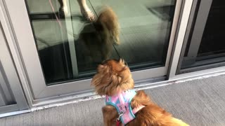 Half-blind dog barks at her own reflection