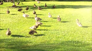 Duck pack enjoys being sprayed by hose