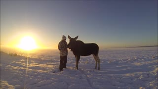 Magical bond between man and wild moose calf - Video