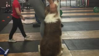 Exercising doggy works out with his owner