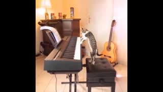 A cat plays the piano