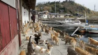 Japan island overrun by cats - Video