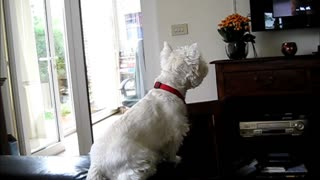 Excited Westie Attentively Watches Dogs On Television