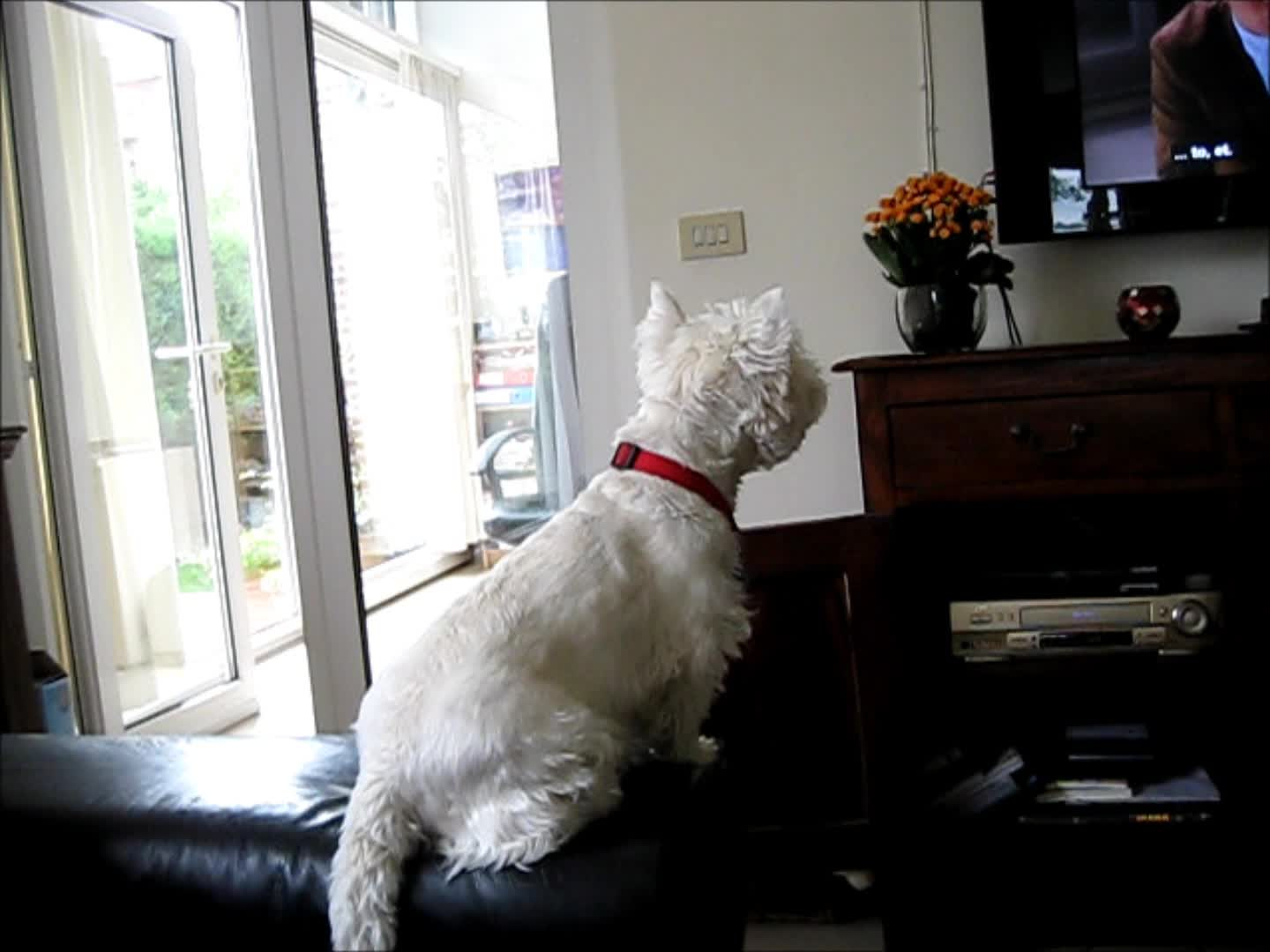 Excited Westie dog loves watching TV - Rumble Cute Puppies