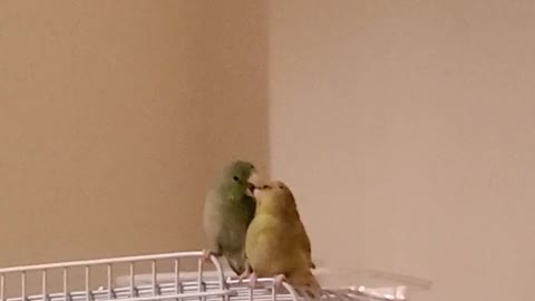 Parrot courts girlfriend by regurgitating into her mouth