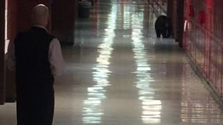 Black Bear Walks The Halls of Bozeman High School - Video