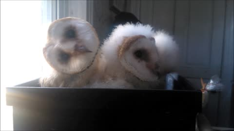 Sweet Baby Owls Snuggle Together In A Basket