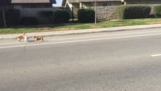 Stray dogs battle for female in heat