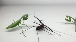 Giant Mantis with Whipspider - Video