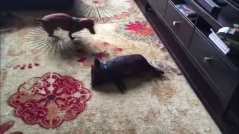 Doxie And Pig Are Best Friends