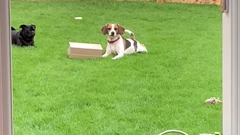 Beagle in trouble for stealing a shoe box