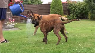 Puppy is playing with the water from watering can - Video