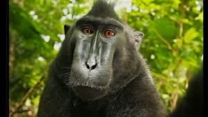 Who owns the rights to a monkey's selfie? - Video