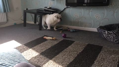 Bulldog creates a mess after getting stuck under table