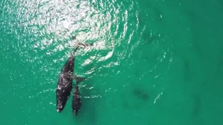 Whales and Calves Fitzgerald National Park - Video