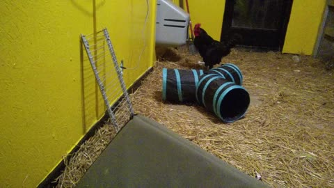 Rescued Carnival Rooster Plays With Cat Tunnel
