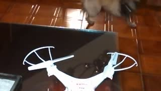 Confused dog thinks she's a drone - Video