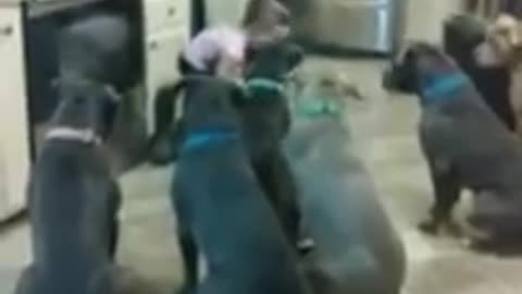 4-Year-Old Toddler Feeds 6 Full-Sized Pit Bulls On Command