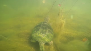 Wild Snapping Turtle allows GoPro to be attached to its shell - Video