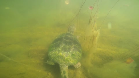 Wild Snapping Turtle allows GoPro to be attached to its shell