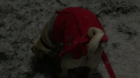 Gizmo the Pug puppy's first snow encounter