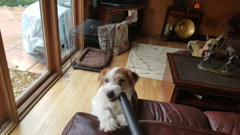 Puppy Tries To Eat The Vacuum Cleaner But Gets Sucked By The Hose Instead