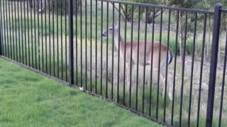 Sasha the dog running with a deer - Video