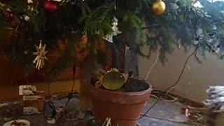 Cat and Christmas tree - Video