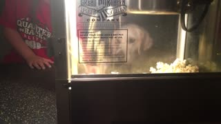Golden Retrievers totally fascinated by popcorn maker