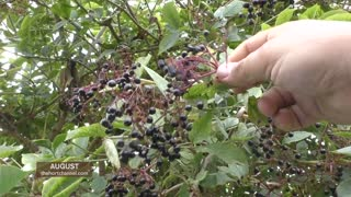Flu and cold remedies: How to make elderberry syrup - Video