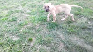 Rosco the great dane and the menthol - Video