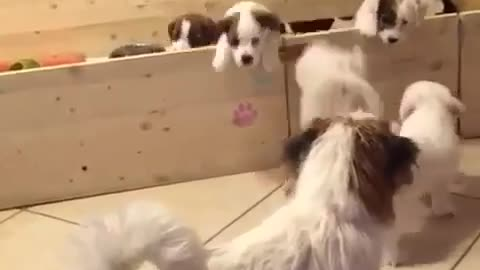 Jack Russell puppy's brave escape from pen